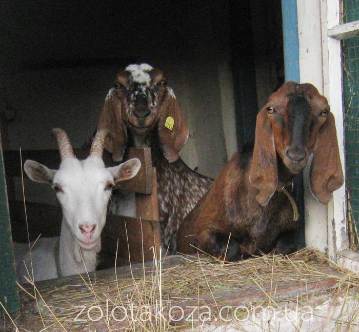 Первые зааненские козы