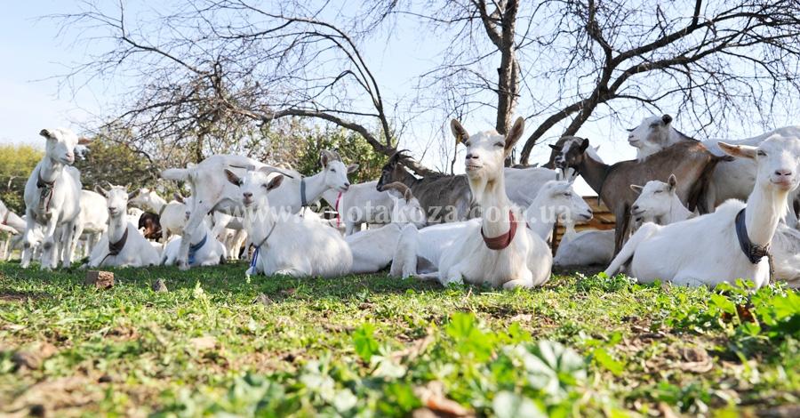 козы Зааненской породы