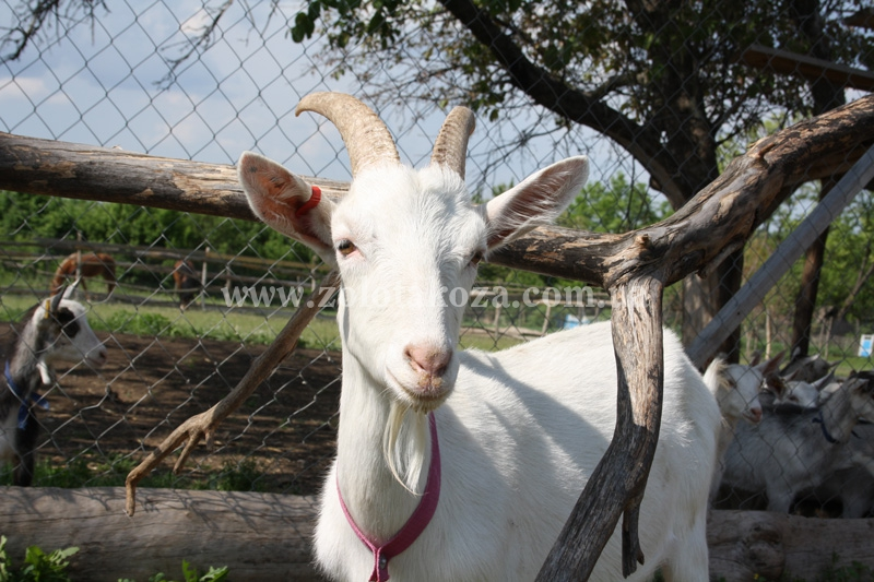 ферма Золота Коза