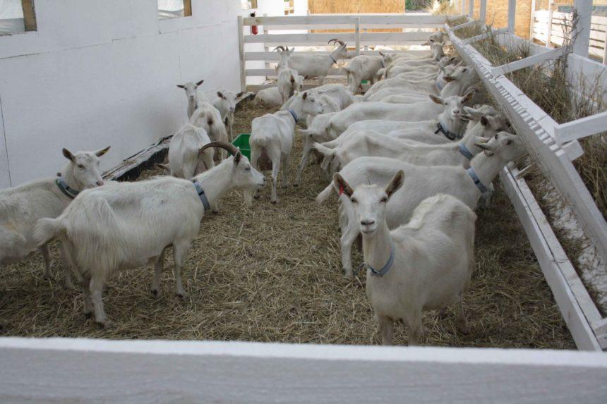Надумали обзавестись козами? (советы)
