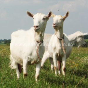 Интересная информация о козах….